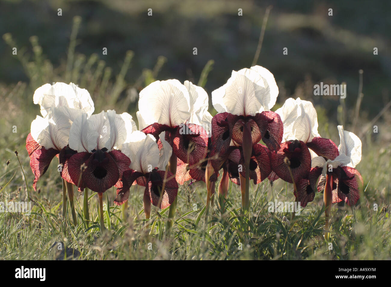 bearded iris (Iris iberica elegantissima), group of blooming plants in back light, Turkey, East Anatolia, Ararat, - Stock Image
