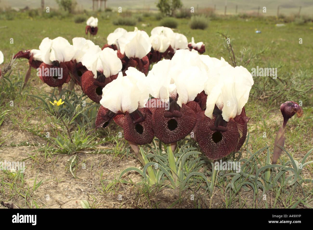 bearded iris (Iris elegantissima, Iris iberica ssp. elegantissima), group of blooming plants, Turkey, East Anatolia, Stock Photo