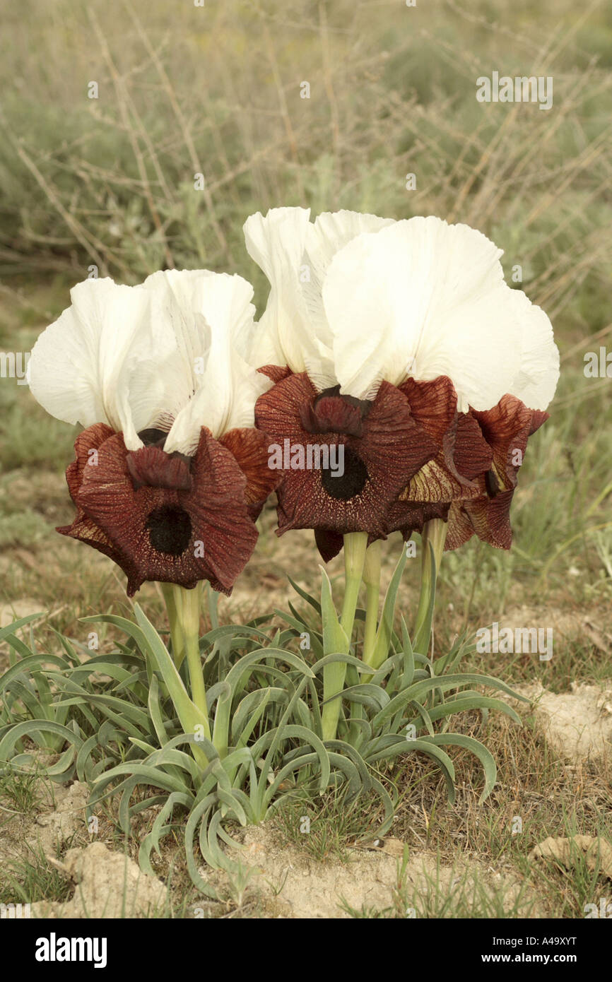 bearded iris (Iris iberica elegantissima), group of blooming plants, Turkey, East Anatolia, Ararat, Dogubayazit - Stock Image