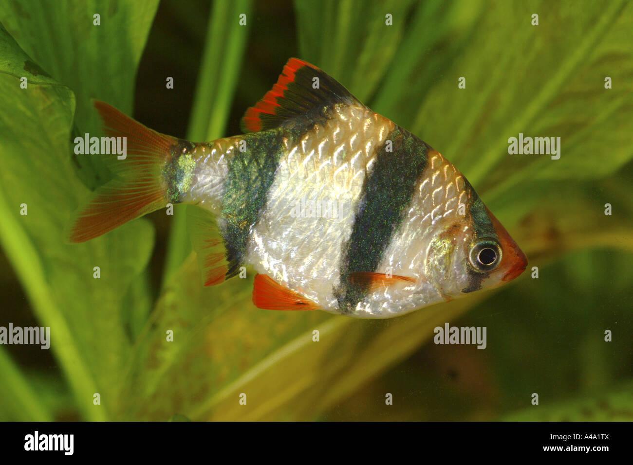 Sumatra barb, tiger barb (Puntius tetrazona (Barbus tetrazona)), female Stock Photo