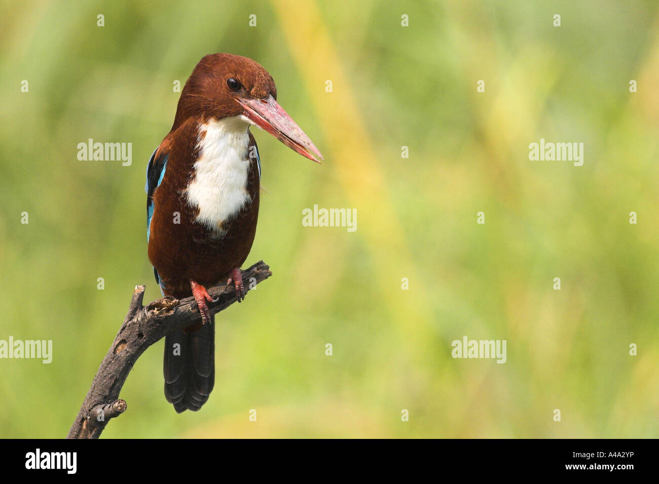 white-throated kingfisher, White-breasted Kingfisher, River Kingfisher (Halcyon smyrnensis), portrait, India, Keoladeo - Stock Image