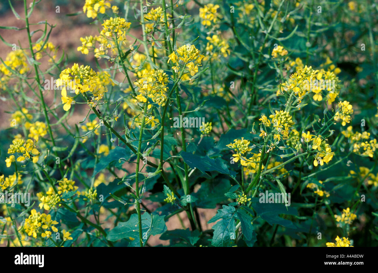 Brassica Hirta - Stock Image