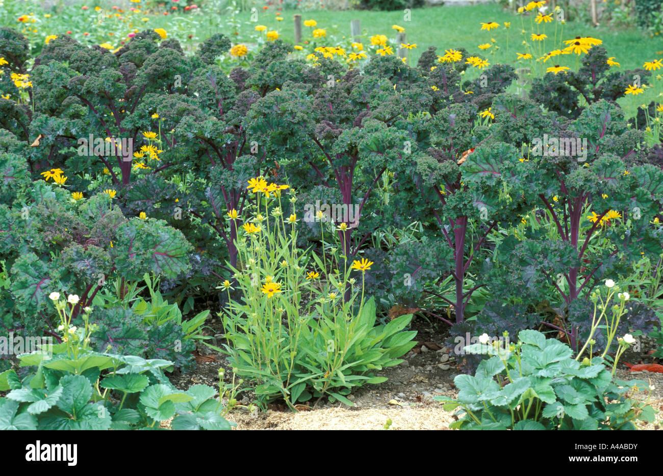 Brassica Oleracea var Acephala F Viridis and Rudbeckia Hirta - Stock Image
