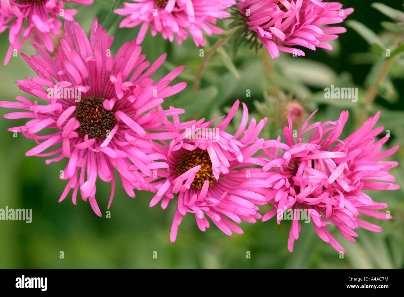 Aster novae angliae Quinton Menzies New England aster - Stock Image