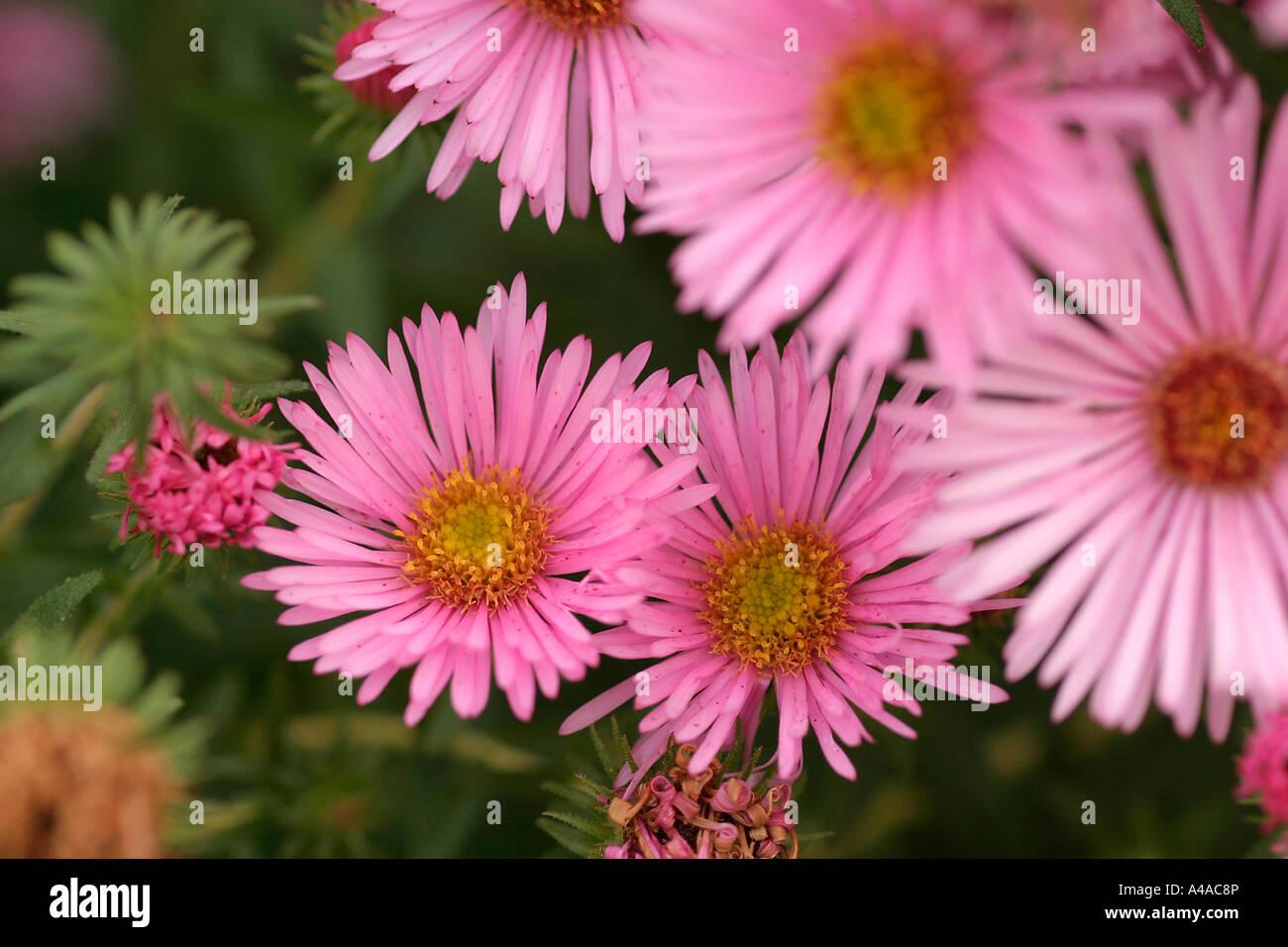 Aster novae angliae Rosa Sieger New England aster - Stock Image