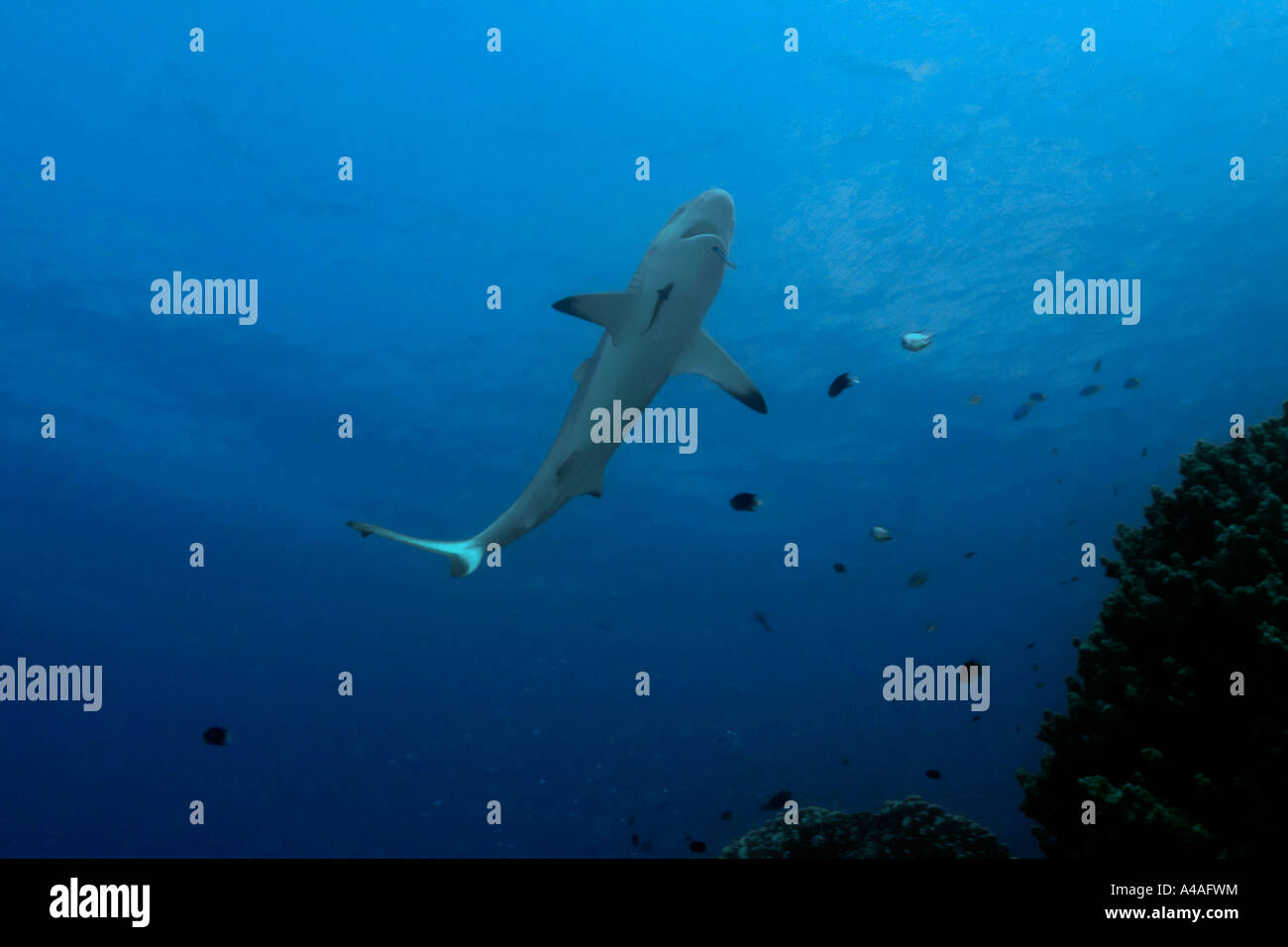 Gray reef shark Carcharhinus amblyrhynchos approaches reef to get cleaned by wrasse Truk lagoon Chuuk - Stock Image