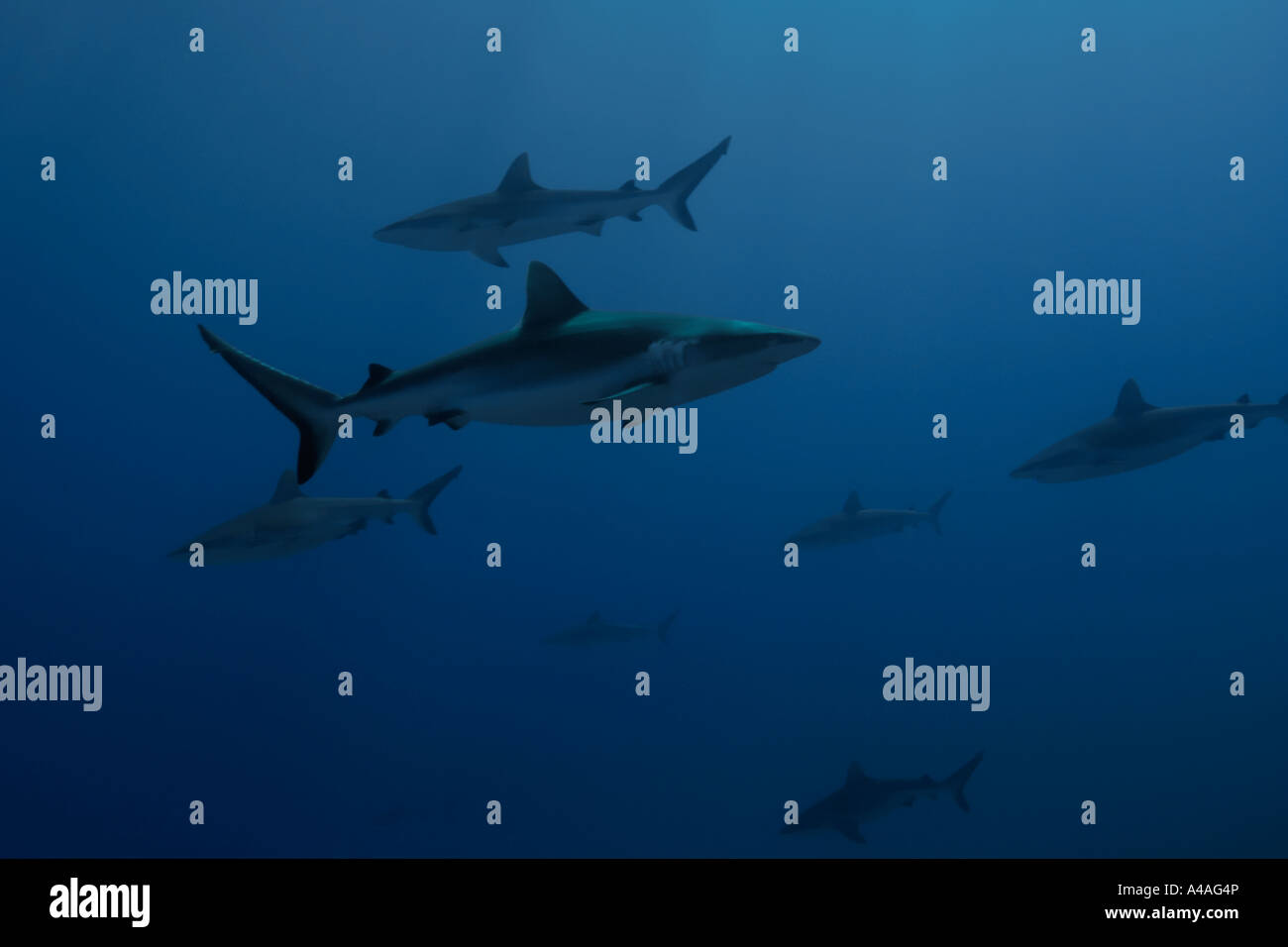 Gray reef sharks Carcharhinus amblyrhynchos glide over reef Chuuk Federated States of Micronesia Pacific - Stock Image