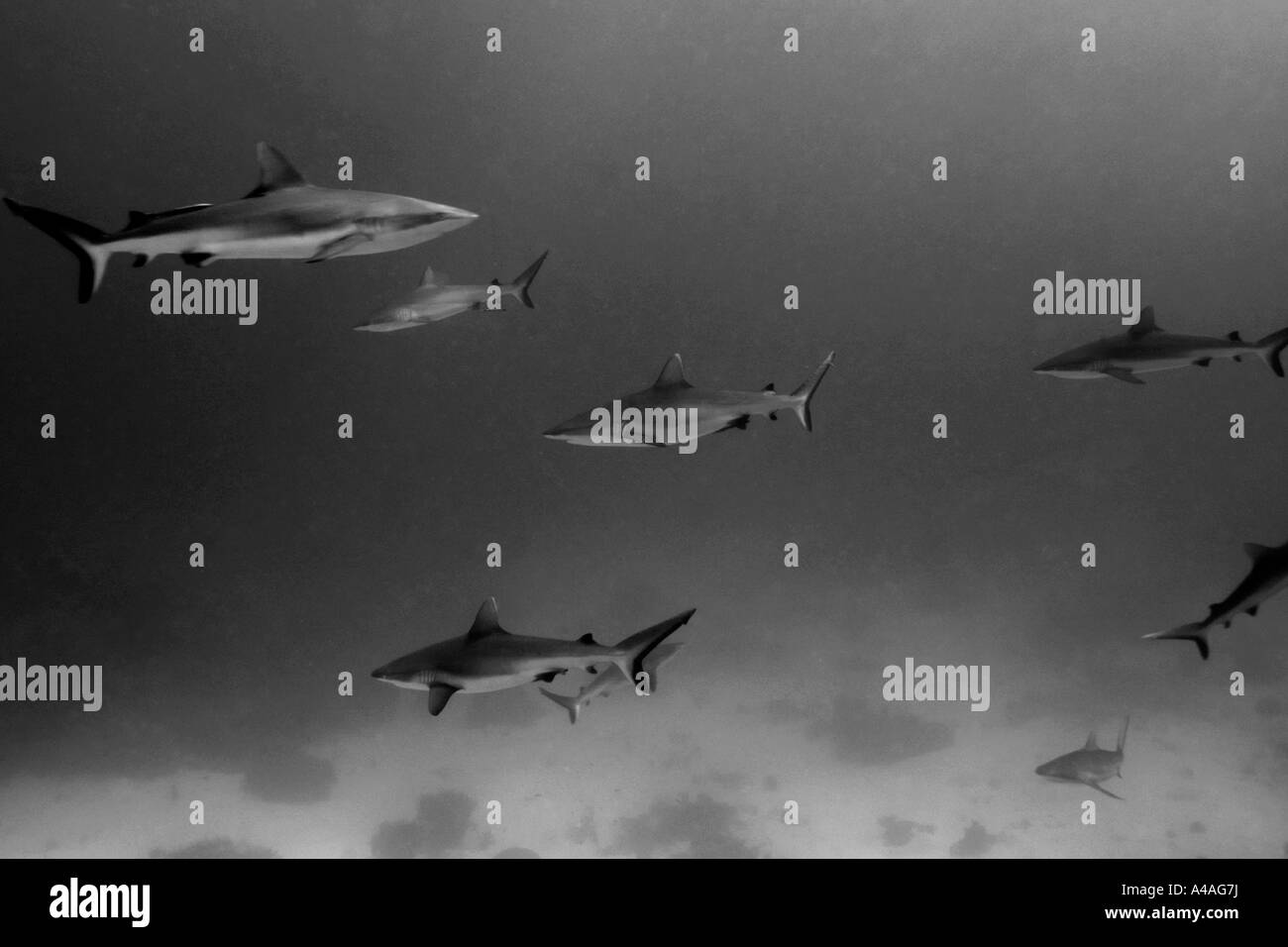 Gray reef sharks Carcharhinus amblyrhynchos glide over reef Chuuk Federated States of Micronesia - Stock Image