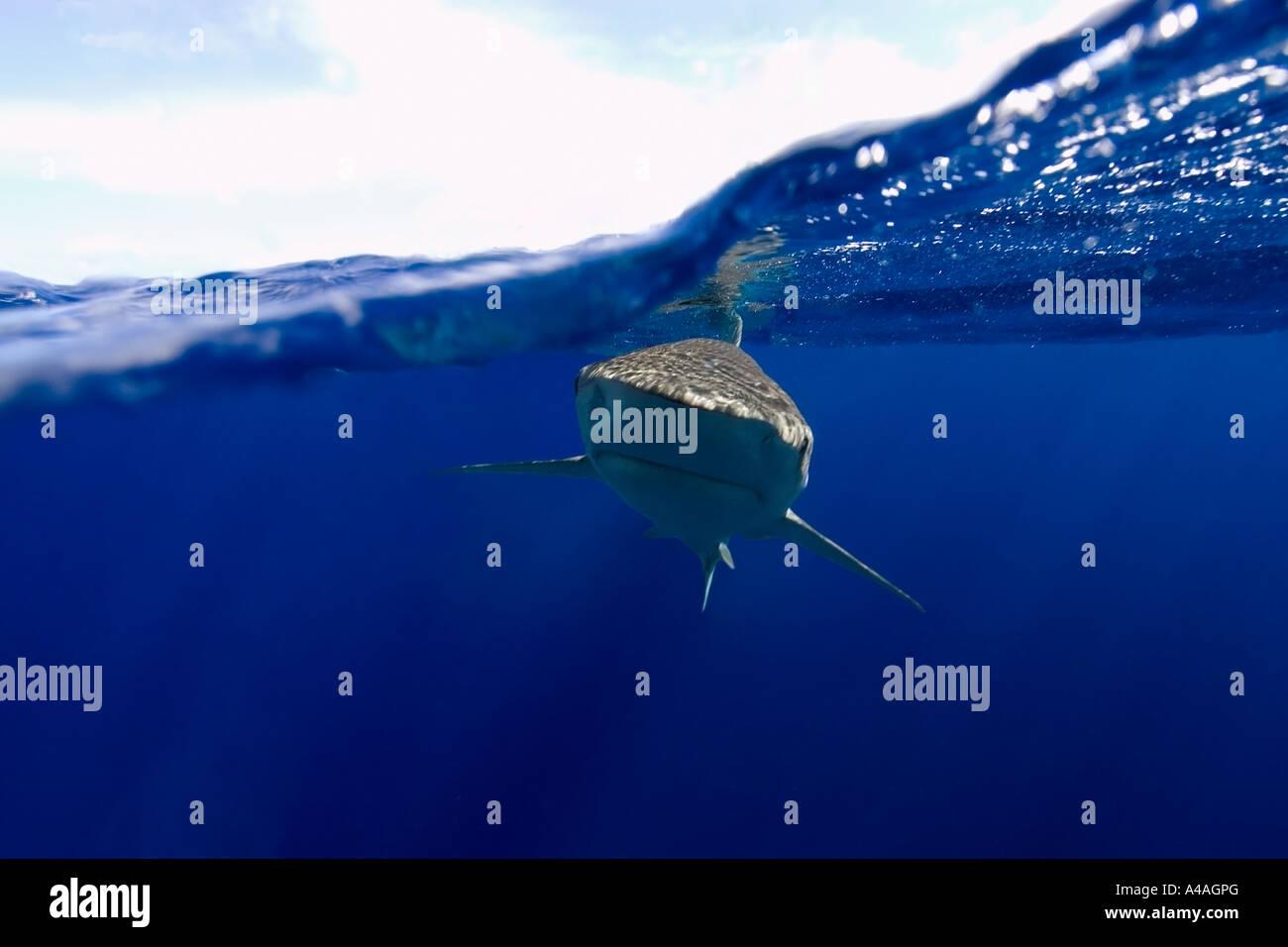 Galapagos sharks Carcharhinus galapagensis Oahu Hawaii - Stock Image