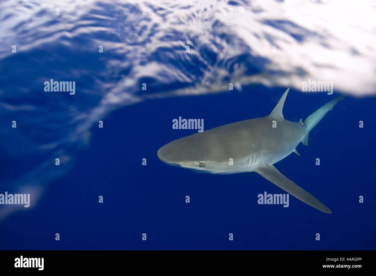 Galapagos shark Carcharhinus galapagensis Oahu Hawaii - Stock Image