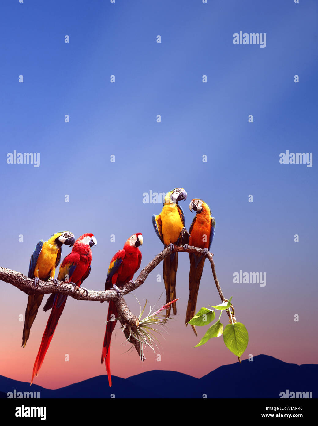 WILDLIFE:  Parrots sitting on a branch - Stock Image