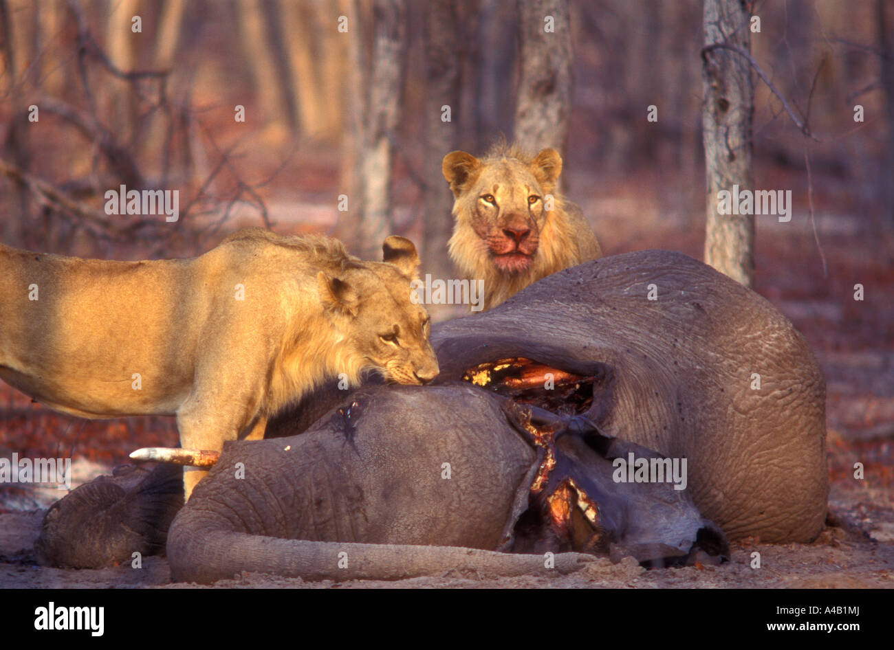 Young male lions feeding on the dead carcass of a young elephant Chobe National Park Botswana One has blood on his - Stock Image