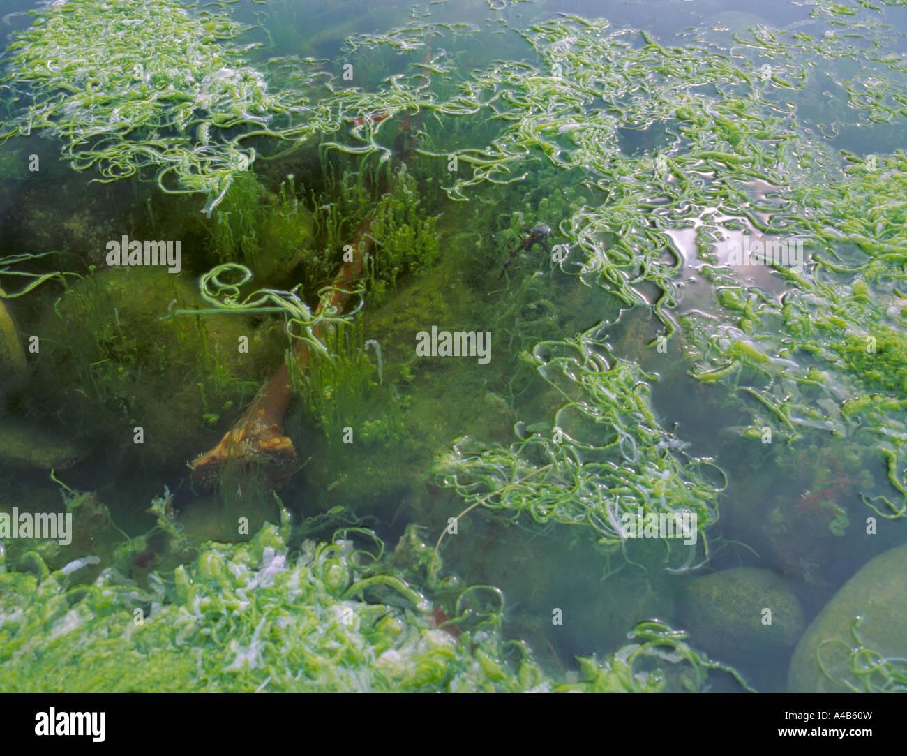 Seaweed, Gut Weed (Enteromorpha intestinalis), in a rockpool; Barra, Outer Hebrides, Scotland, UK. - Stock Image
