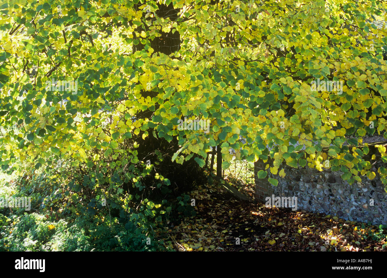 Small leaved lime or Linden or Tilia cordata tree with bright ...