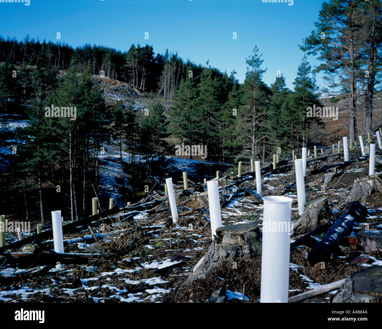 Newly planted deciduous trees in plastic tubes, with middle aged conifers beyond, Blanchland Moor near Hexham, Northumberland, - Stock Image