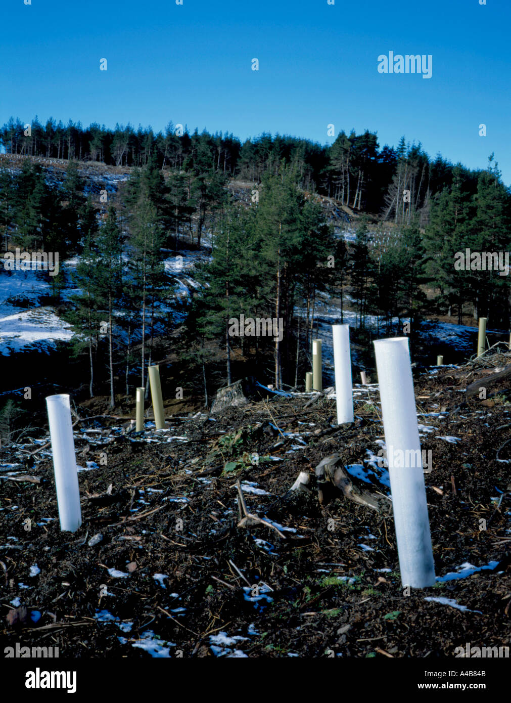 Newly planted deciduous trees in plastic tubes with middle aged conifers beyond, Blanchland Moor near Hexham, Northumberland, UK - Stock Image