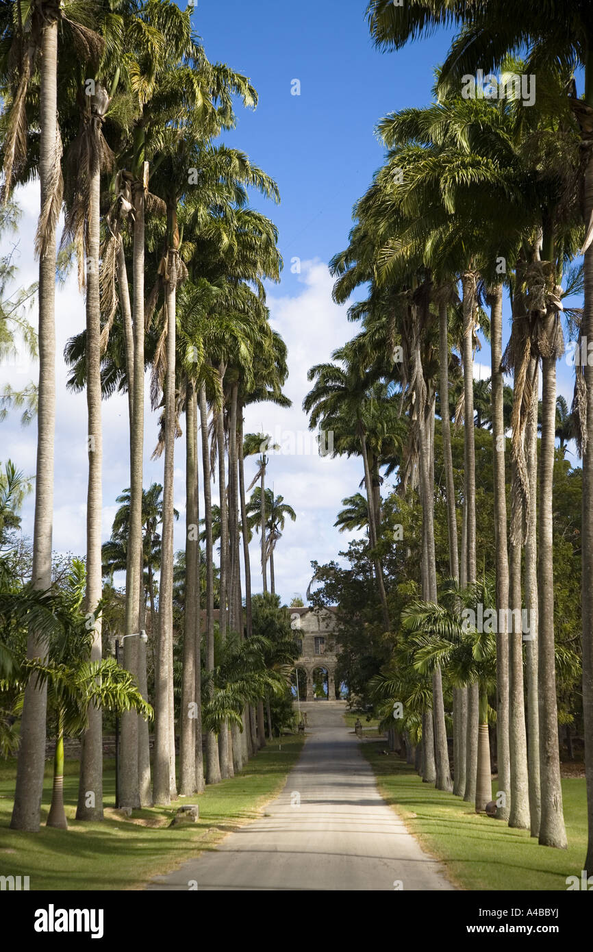 driveway lined with cabbage palm trees at the entrance to codrington