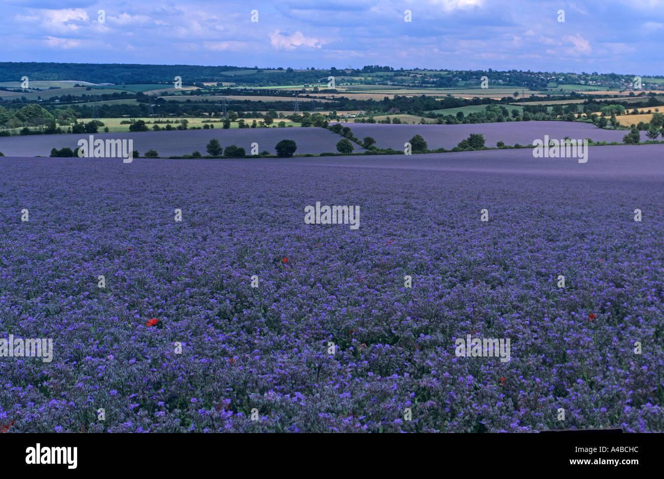 Borage Crop In Flower Chilterns Buckinghamshire UK Summer - Stock Image