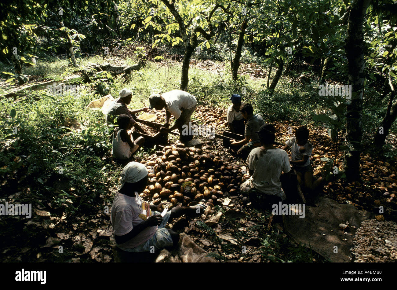 Eight workers but only two wages. With new systems of piecework  cacao workers bring their families  and earn what previously one man earned alone. Bahia, july 1991 - Stock Image