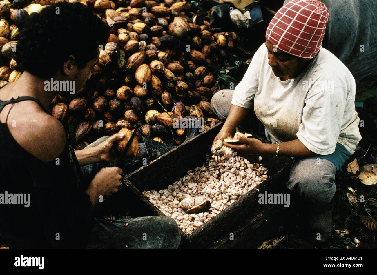 Cacao pods are sliced open to extract the beans to make chocolate.  Before if a worker sliced off a finger or thumb compensation was paid. Now the owners have abolished the system. They claimed that workers used to cut off their fingers deliberately Bahia, July 1991 - Stock Image