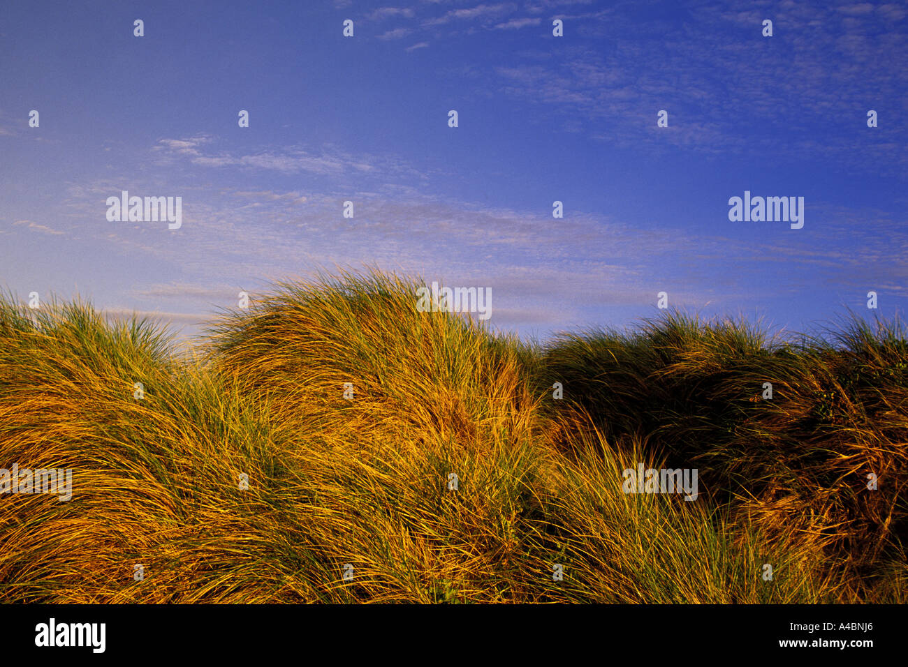 Dune grasses shaped by blowing winds along the Pacific coast at the Oregon Dunes National Recreation Area in Oregon - Stock Image