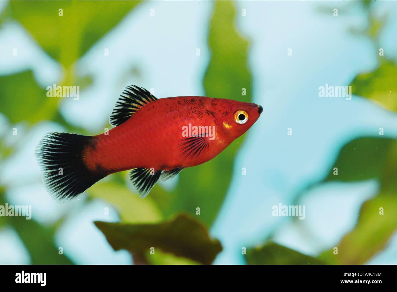 Platies Stock Photos & Platies Stock Images - Alamy