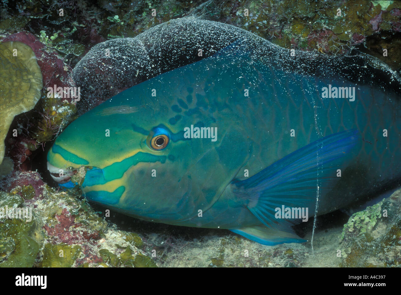 QUEEN PARROTFISH SCARUS VETULA IN MUCOUS COCOON - Stock Image