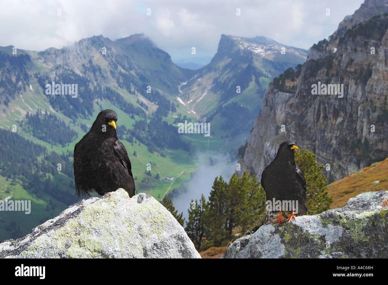 Yellow billed Choughs, Alpine Choughs (Pyrrhocorax garculus) in mountain scenery - Stock Image