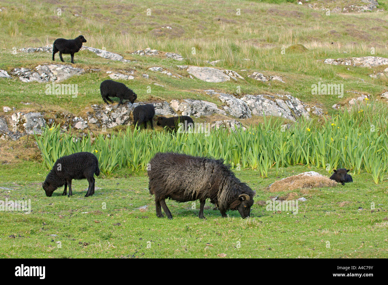 Hebridean Sheep (Ovis ammon aries), grazing group. - Stock Image