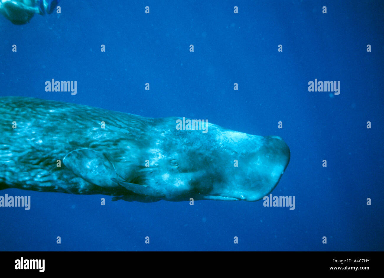 Sperm Whale (Physeter macrocephalus, Physeter catodon), young female in clear water - Stock Image