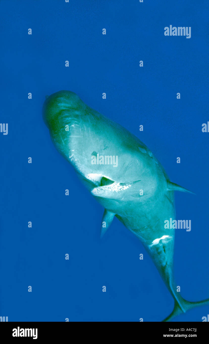 Sperm Whale (Physeter macrocephalus, Physeter catodon), young male in clear water - Stock Image