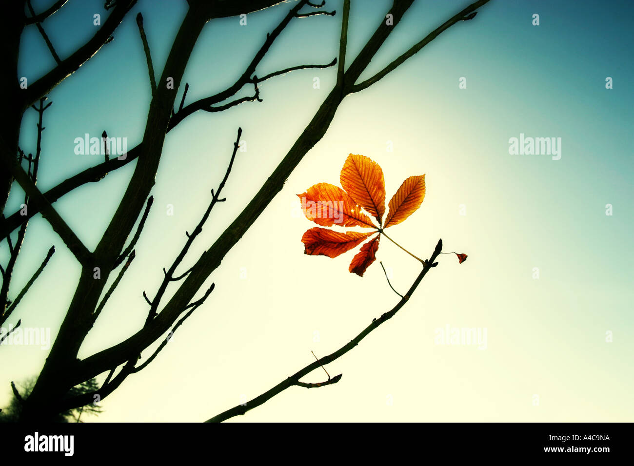 last leaf - Stock Image