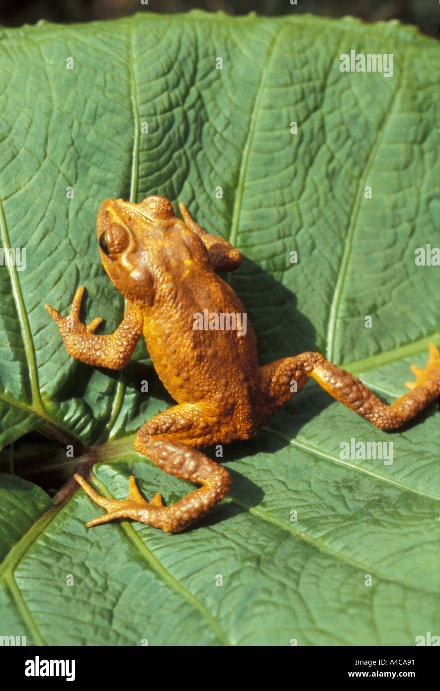 golden toad stock photo 314001 alamy