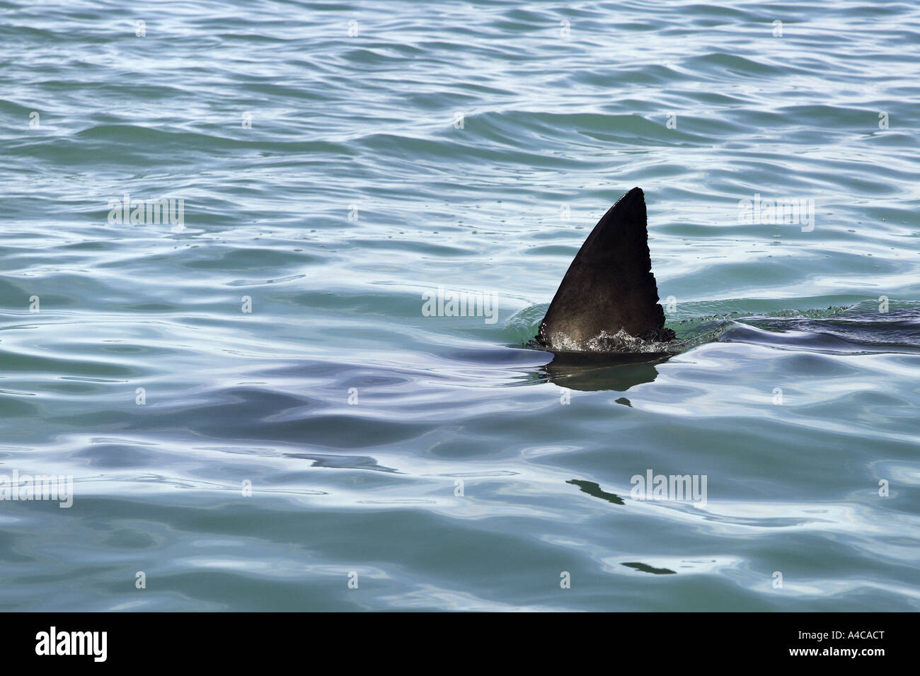 great white shark dorsal fin breaking surface South Africa - Stock Image