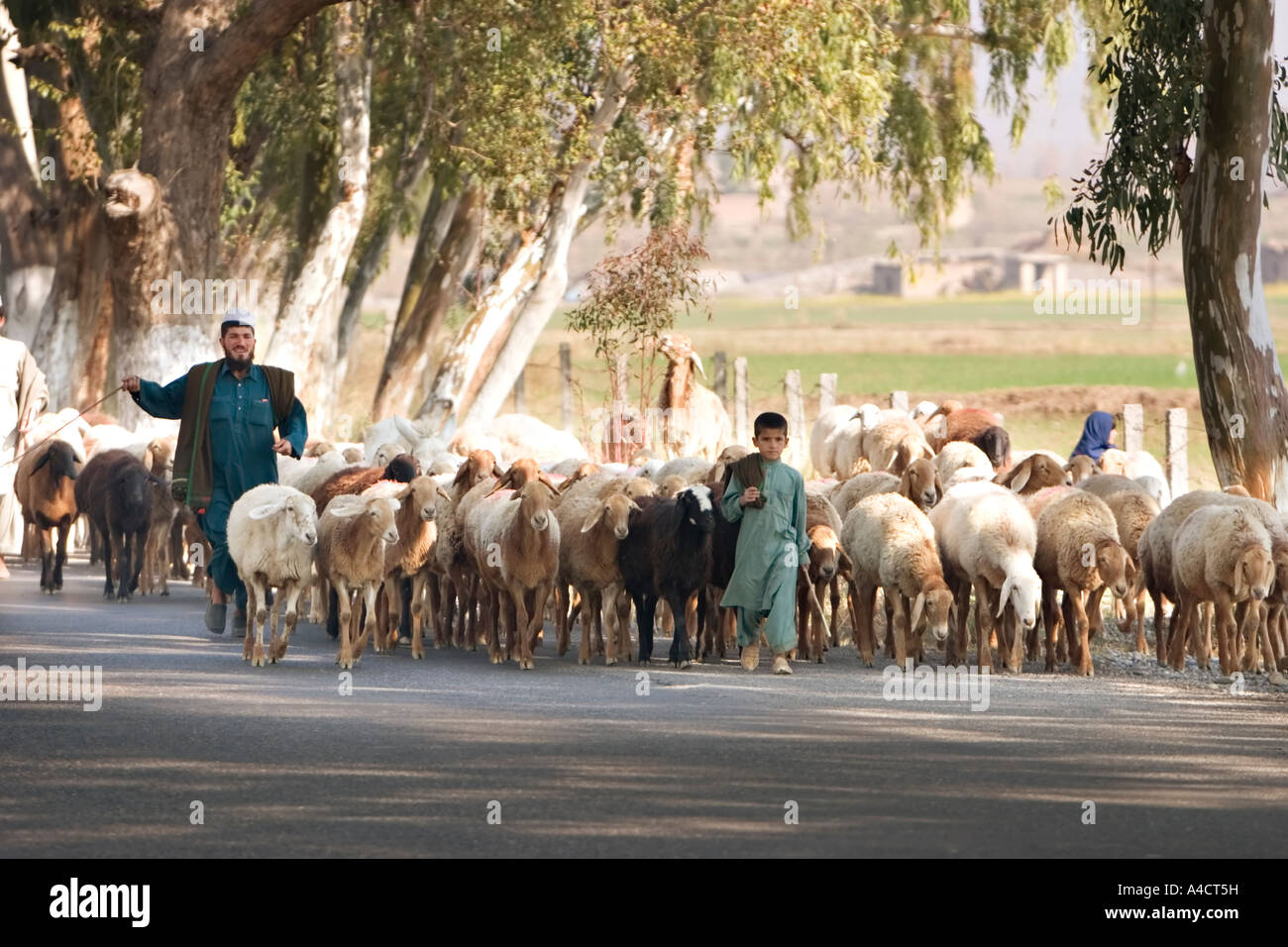 Family herds sheep along a highway near Islamabad in Pakistan - Stock Image