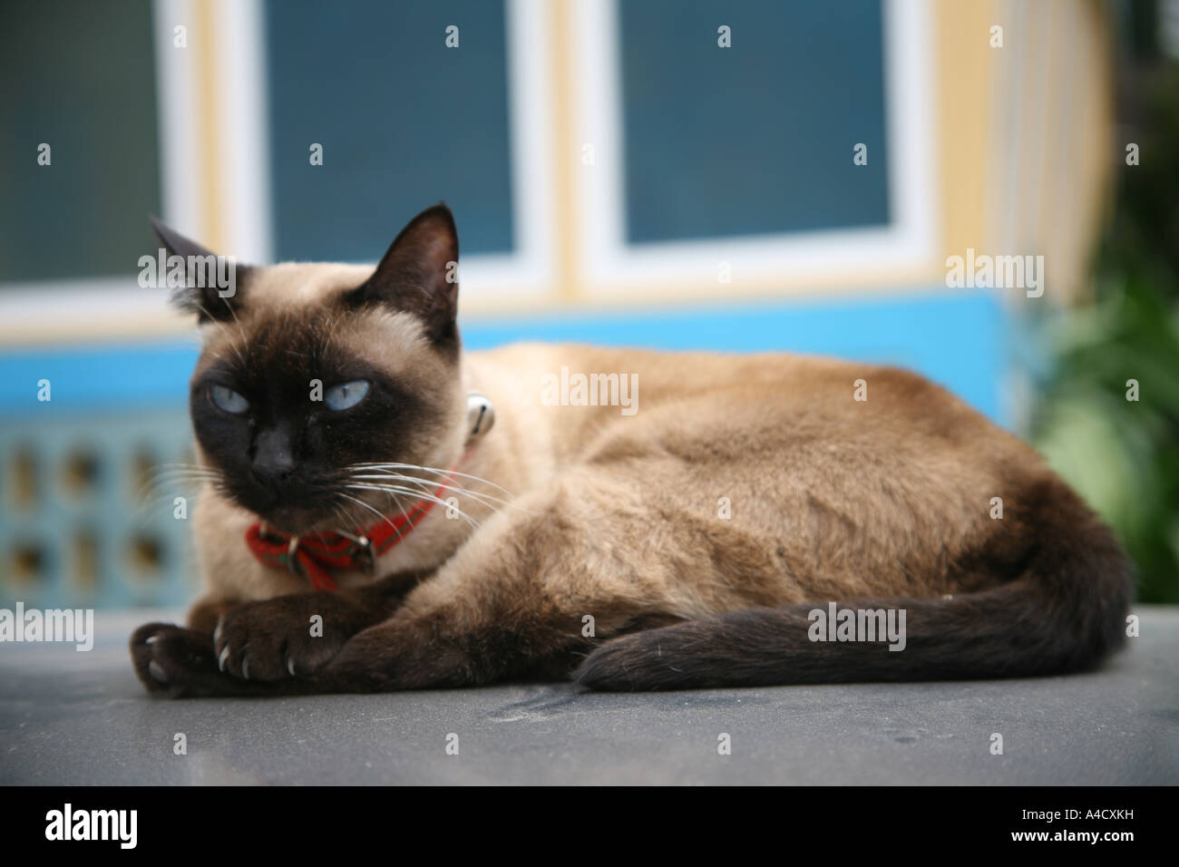 Siamese cat sitting on the roof of a car in Riberia Grande Santo Antao - Stock Image