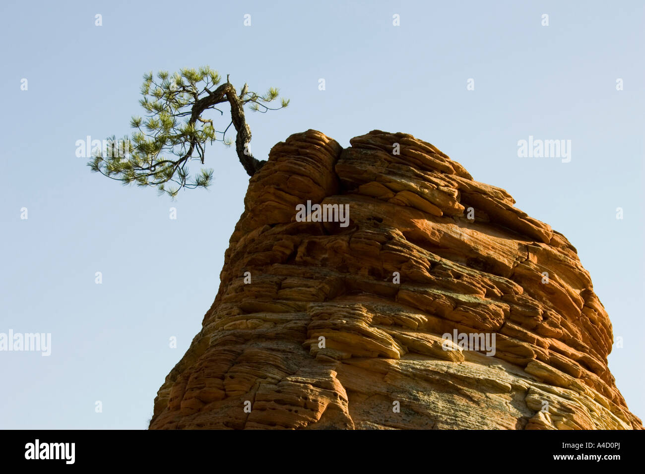 Pinyon Pine (Pinus edulis), solitary pine tree on top of an isolated sandstone rock - Stock Image