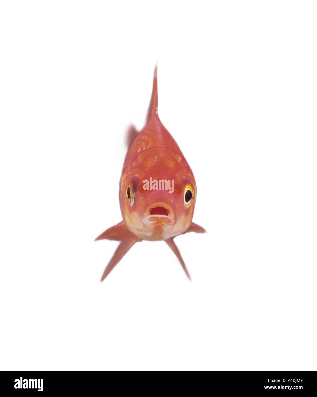 Goldfish, Carassius auratus, head-on. Stock Photo
