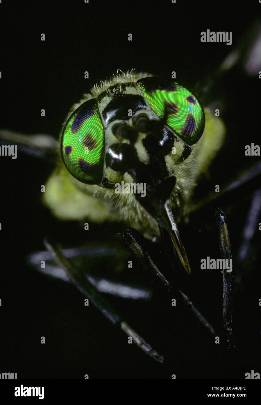 Iridescent compound eyes of deer fly or horsefly, Chrysops, comprised of many facets or ommatidia. - Stock Image