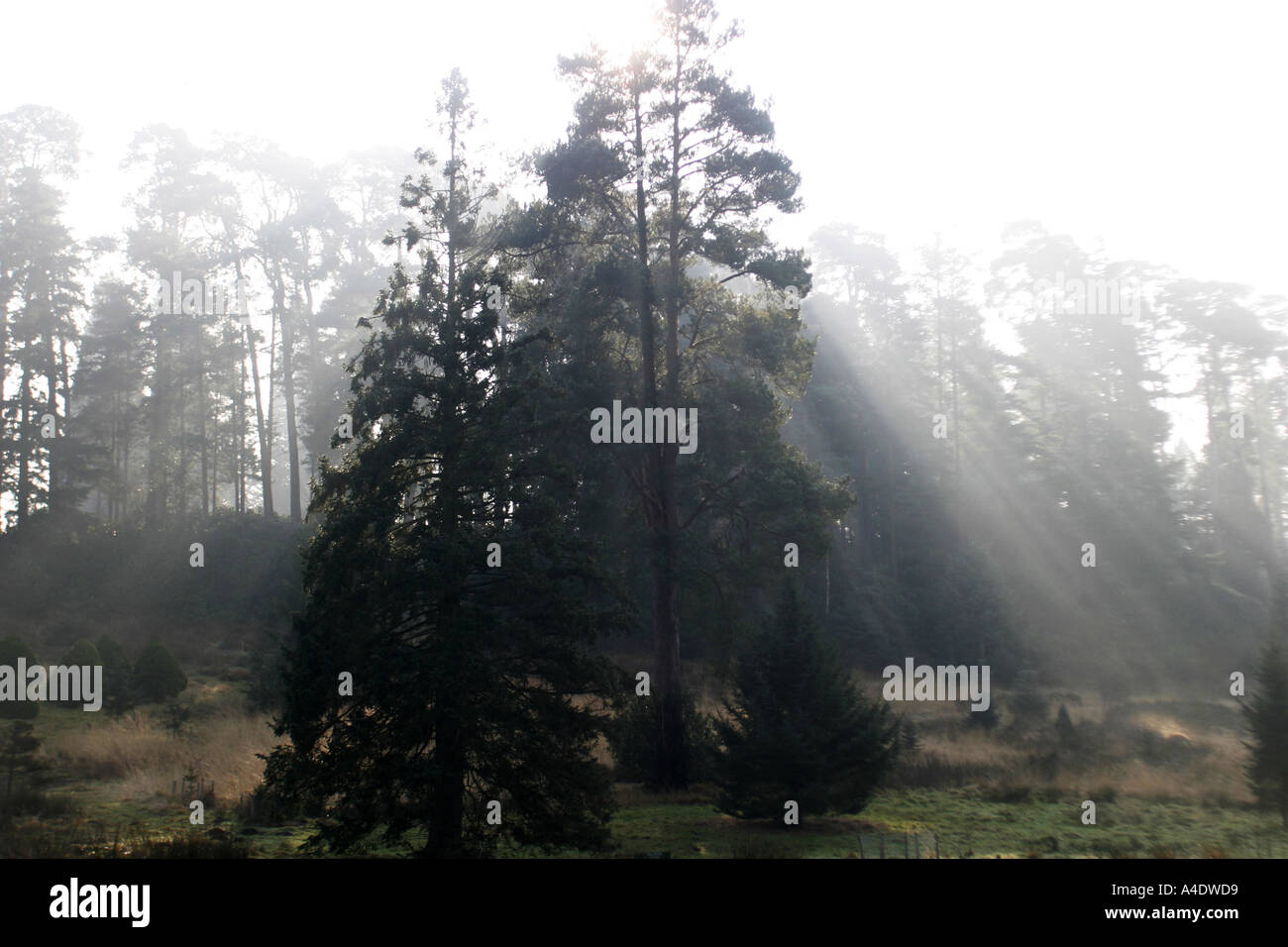 morning light shines through trees at Bedgebury National Pinetum in Kent UK - Stock Image