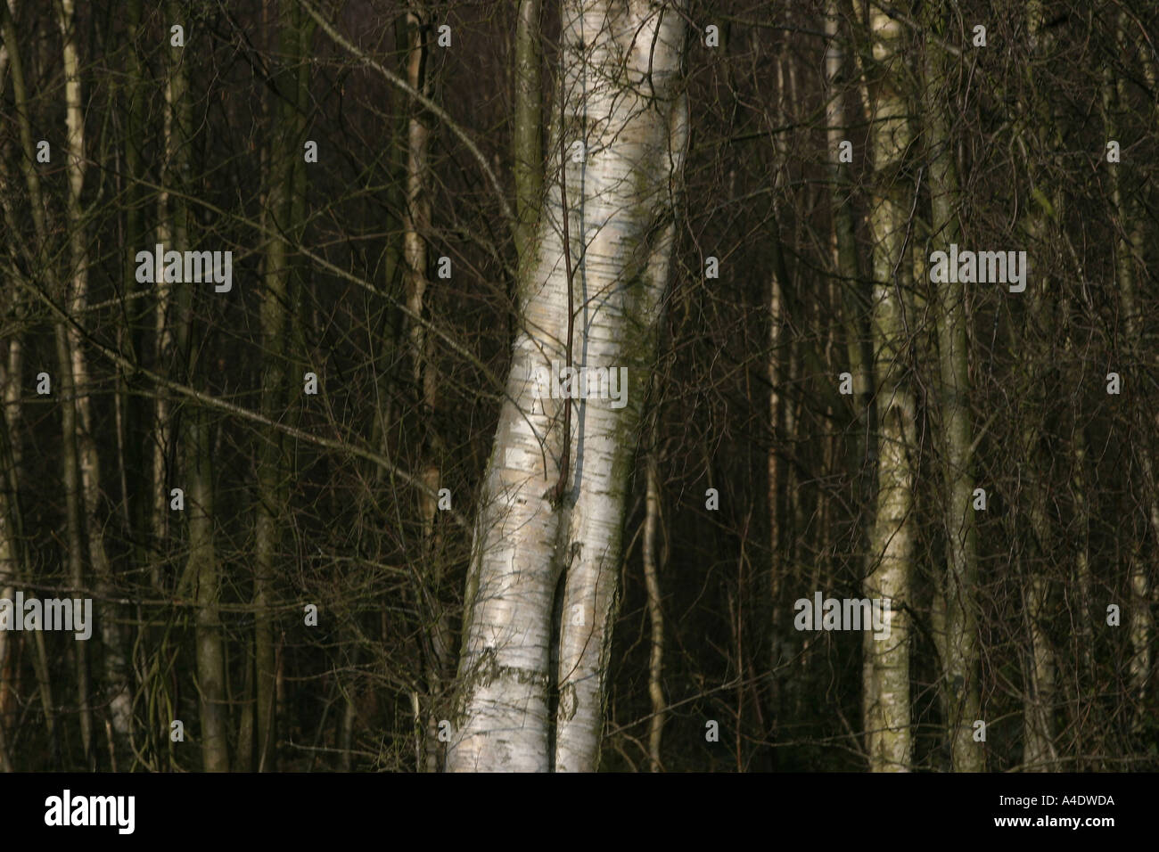 Beech tree bark at Bedgebury National Pinetum in Kent UK - Stock Image