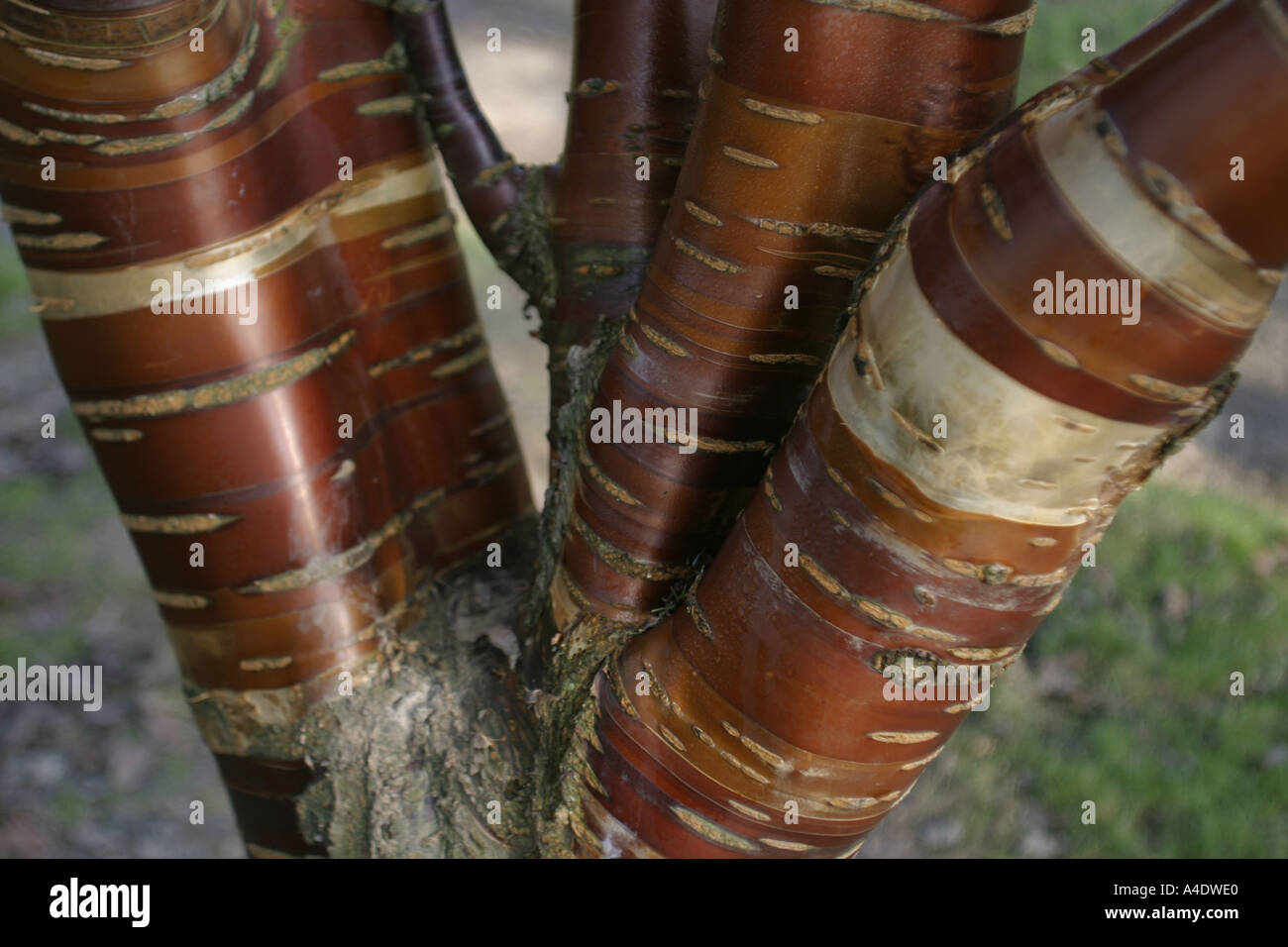 Birch bark at Bedgebury National Pinetum in Kent UK - Stock Image