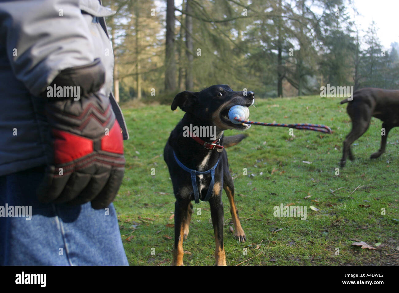 Bryn a mongrel dog exercising in Bedgebury National Pinetum in Kent UK - Stock Image
