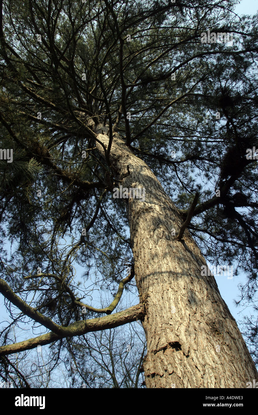 A pine tree at Bedgebury National Pinetum in Kent UK - Stock Image