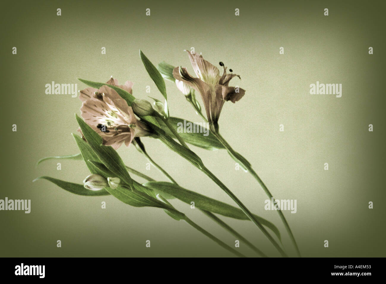 Vintage floral concept with hand tinted effect - Stock Image