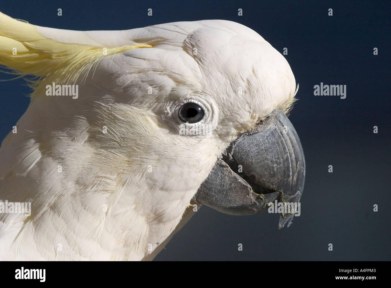 cockatoo portrait - Stock Image