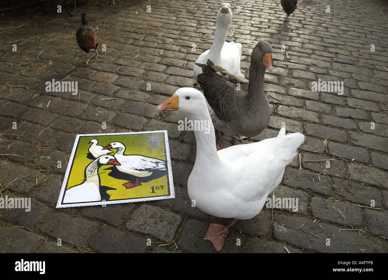 Geese in cobbled farmyard of Hackney City Farm London admire the Royal Mail latest stamp issue - Stock Image