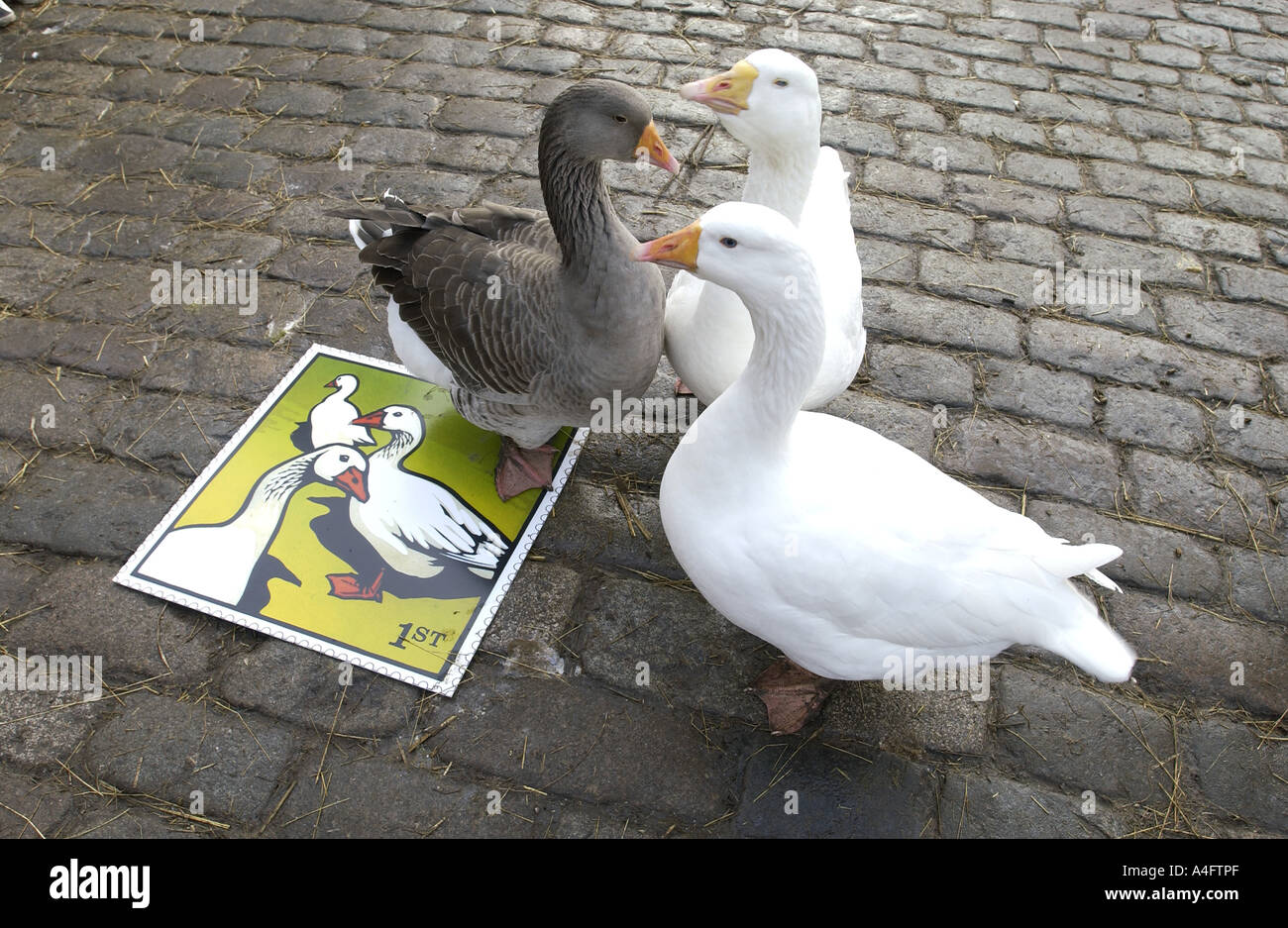 Geese in cobbled farmyard of Hackney City Farm London admire the Royal Mail s latest stamp issue - Stock Image