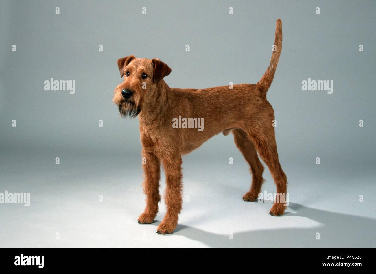 irish terrier mammals animals domestic dog pet cut out object studio