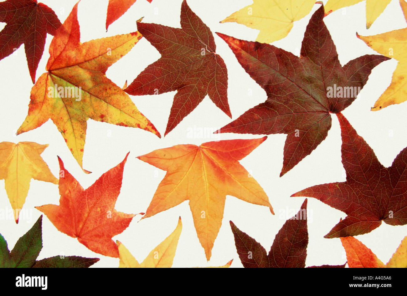 Autumn Leaves Of Sweet Gum Tree Liquidambar Styraciflua Pendula Stock Photo Alamy